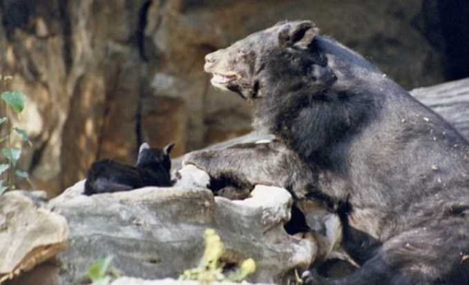 BERLIN, GERMANY: Pictured is Muschi the cat and Mausi the bear.  A friendship that started in 2001 between an Asian Black Bear and a cat still continues. One day cat Muschi entered the enclosure of Mausi. Mausi the bear is 40 years old and has welcomed Muschi with open arms as he spends time with the feline and shares food! Caretaker Thomas Dšrflein looks after the odd duo. PHOTOGRAPH BY ANIMAL PRESS / BARCROFT MEDIA LTD + 44 (0) 845 370 2233 www.barcroftmedia.com